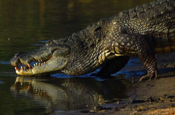 Bizzare: Man Eaten By Crocodile After He Broke Lockdown Orders To Go Fishing (See Video)