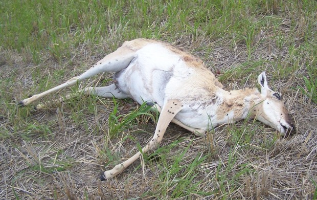 Woman Turns Into An Antelope In Obuasi–Live Report
